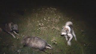 Охота на барсука с лайками.