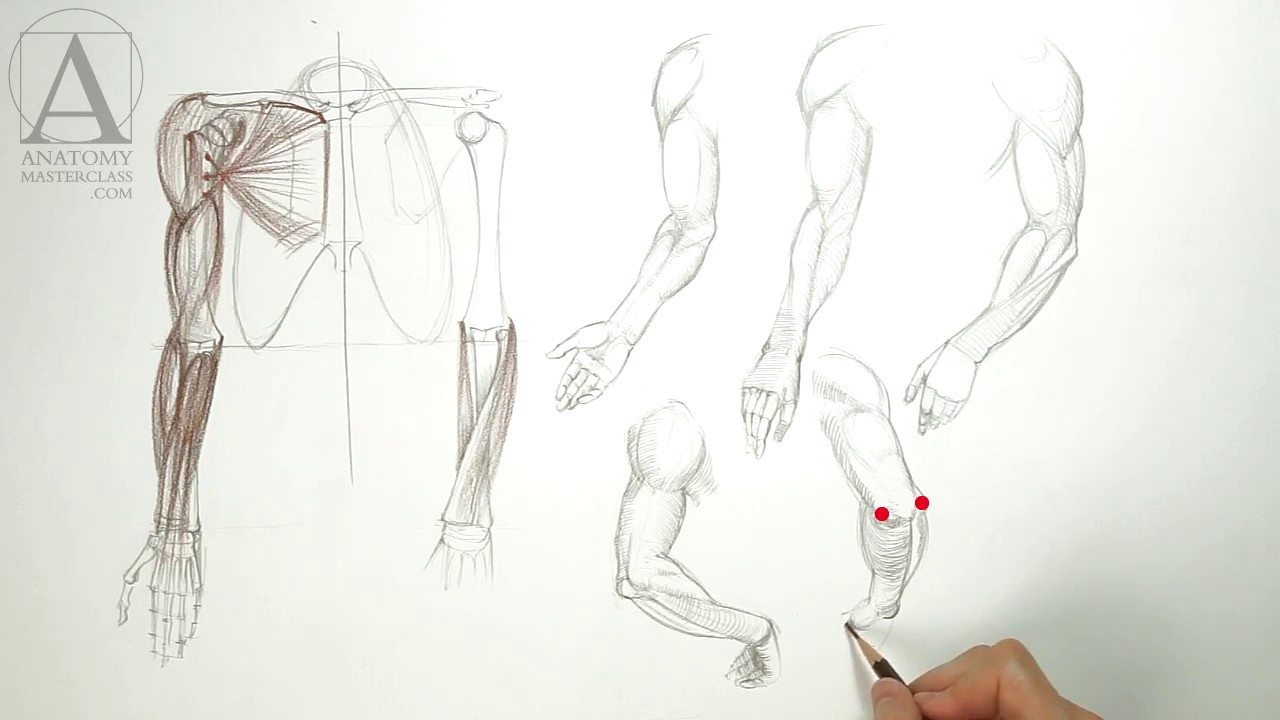 Anatomy of the Arm - Anatomy Lesson for Artists - YouTube