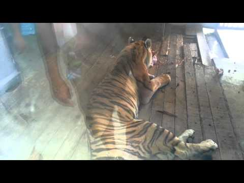A Big Tiger is eating its lunch