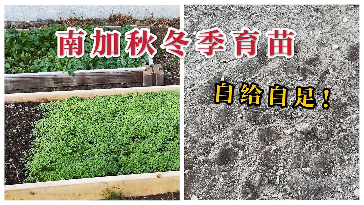 (园艺篇149)老何秋冬季种什么菜育什么苗?