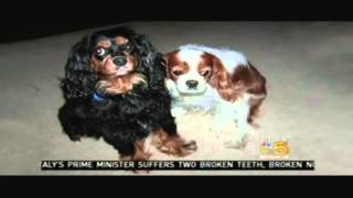 Greater Chicago Cavalier Rescue Autumn And Guinness On Nbc5 In Dec 2009 (gccr)