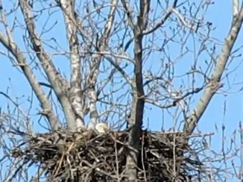 Eagle in nest.MOV
