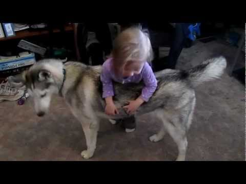 This is an example of why Huskies are GREAT with kids! XD