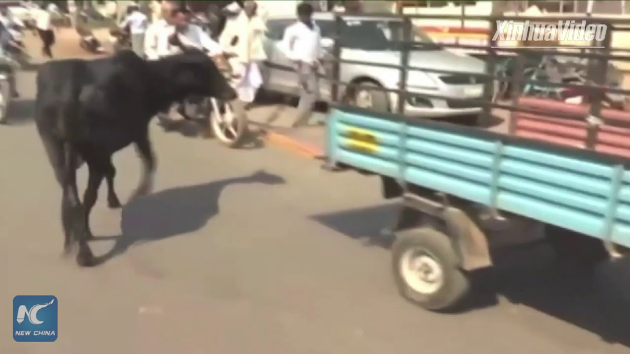 Overwhelming love: Worried mama cow runs behind truck ...