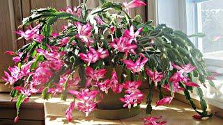 Como Replantar Flor De Maio