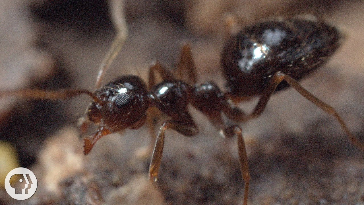 Winter is Coming For These Argentine Ant Invaders   Deep Look