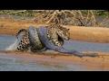 When Animals attack -  ANACONDA vs LEOPARD