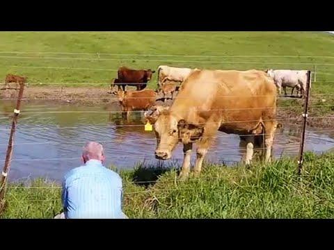 Cow asks man to rescue her newborn calf