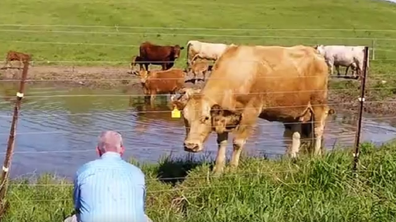 Unbelievable Footage Shows Cow Asking Man To Save Calf