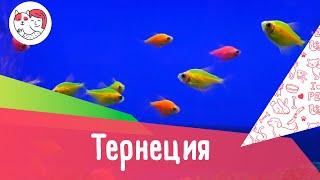 Аквариумная рыбка тернеция. Особенности. Уход.