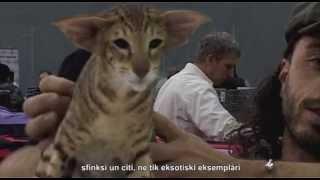 Video, победители кошки английских пород