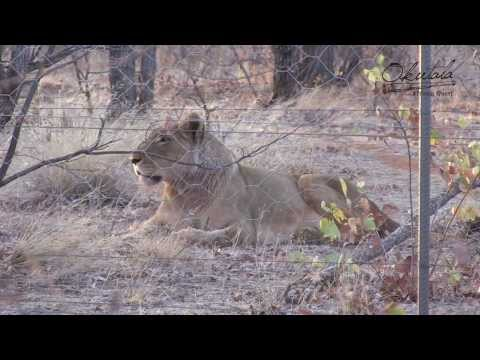 Okutala Animal Facts 4 | South-West African Lion