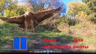 Орел Могильник Воспитание для охоты