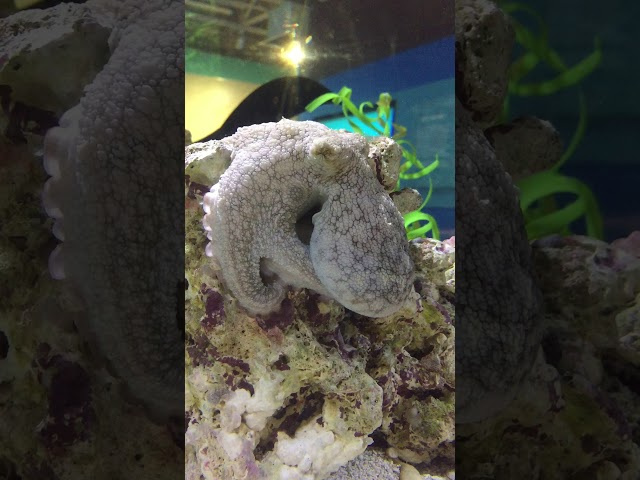 Octopus sleeping, but is she dreaming?