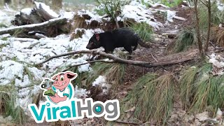 Tasmanian Devils Spend Time in Snow || ViralHog