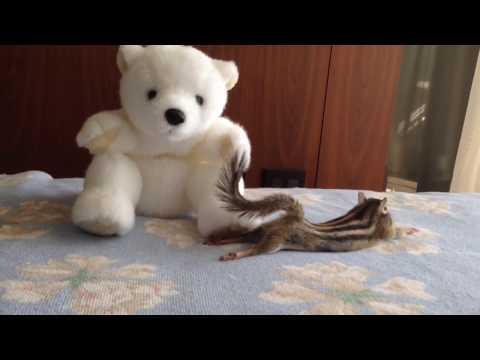 【Bikke】Chipmunk's cute stretch/シマリスビッケの可愛いストレッチ集 - YouTube