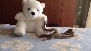 【Bikke】Chipmunk's cute stretch/シマリスビッケの可愛いストレッチ集