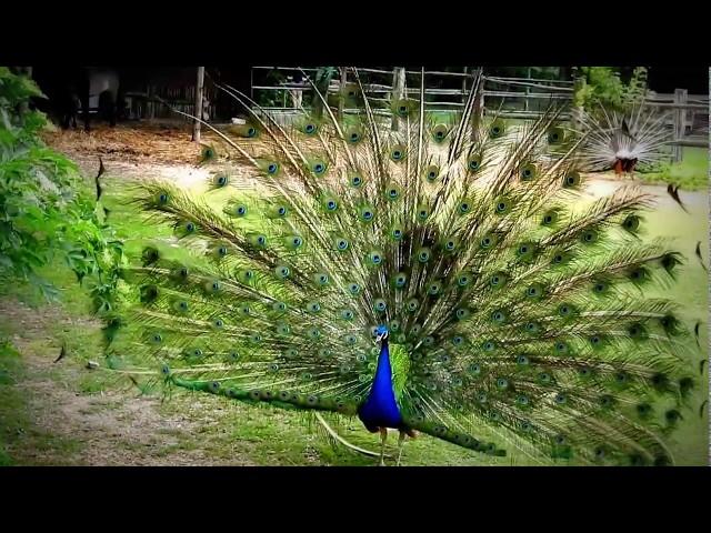 Peacock turn / Páva fordulás