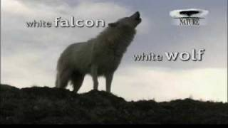 Winter Returns- White Falcon White Wolf