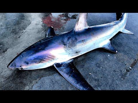 THRESHER SHARK Caught At HUNTINGTON BEACH PIER (SWIMMERS VERY CLOSE!!)