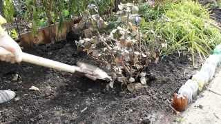 видео Подробная инструкция по выращиванию роз из черенка