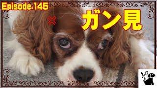 おもしろ可愛い犬(キャバリア/ルビー・ブラタン・ブレンハイム)と鳥(...