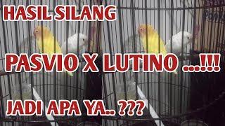 PASVIO X LUTINO | PERSILANGAN ANTARA PASVIO X LUTINO | PASTEL VIOLET X LUTINO | PASVIO | LUTINO