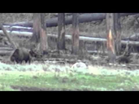 Grizzly bear chases wolves from bison carcass - Yellowstone