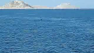 Croazia 2008 Delfini