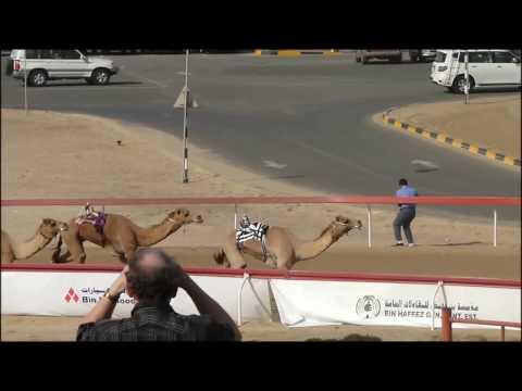 Camel racing in Abu Dhabi