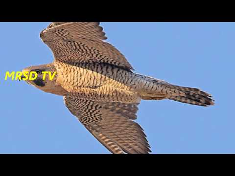 The Most Beautiful Top 23 List Of Fastest Flying Birds in the World#23