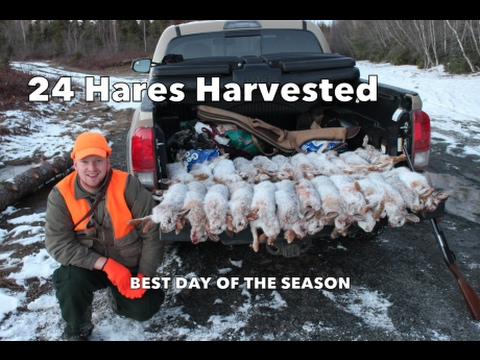 Snowshoe Hare Hunting: Last Week Of January, 2017.