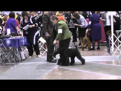 Kerry Blue Terrier Judging at a Dog Show