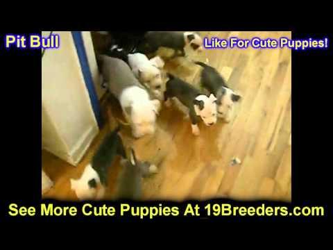 PitBull Terrier, Puppies, For, Sale, In, Wichita, Kansas, KS, Pittsburg, Hays, Liberal, Prairie Vill