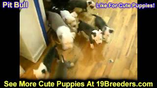 Pitbull Terrier, Puppies, For, Sale, In, Wichita, Kansas, Ks, Pittsburg, Hays, Liberal, Prairie Vill