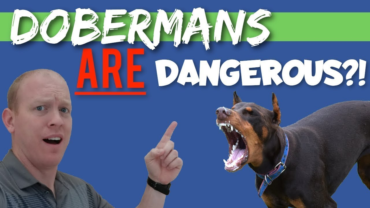Are Dobermans Mean, Dangerous, or Overly Aggressive?