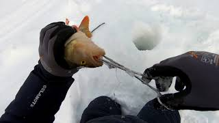 Трофейная рыбалка..Гигантские окуни..заключительная часть..