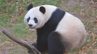 Dream jobs: Panda keeper at the National Zoo
