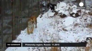 Что важнее – еда или дружба? Тигр Амур выбирает дружбу.