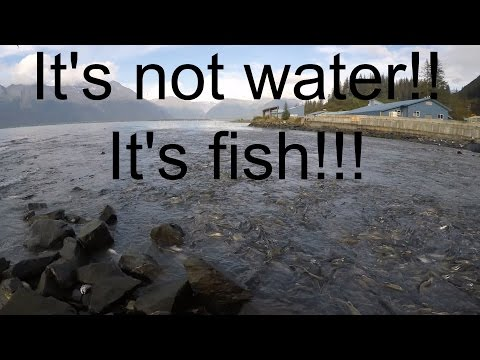Thousands Of Salmon In Alaska!! PART 11/16