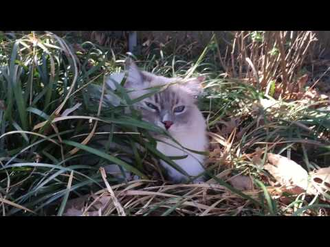 SURPRISE! It's Chiggy! - Ragdoll Cat Trigg Bursts Out of Grass - Floppycats