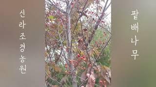 꽃과 열매가 예쁜 조경수 팥배나무 -  신라조경농원
