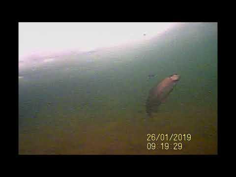Поснимали форель на подводную камеру