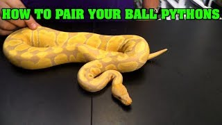 How to choose breeding pairings in ball pythons.