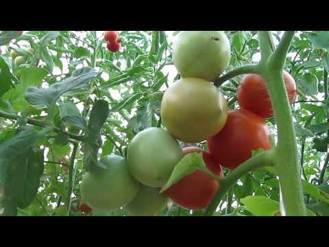 """Обзор нашей помидорной теплички на 14.09.18г.  Томат """"Толстой""""(ч.4)."""