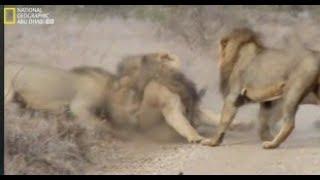وثائقي بالجرم المشهود : معارك ضارية ين الأسود و الضباع National Geographic Abu Dhabi HD