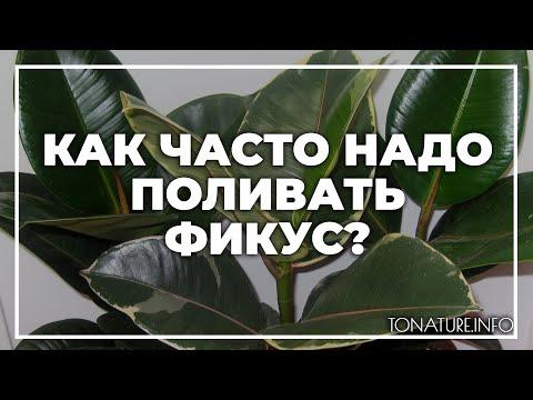 Как часто надо поливать фикус? | toNature.Info