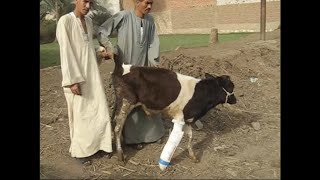 Fracture of metacarpal bone in a calf