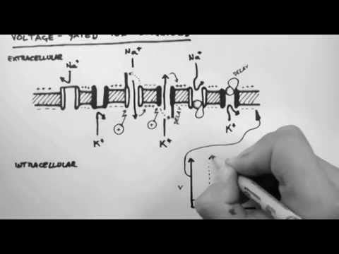 Basic Pharmacology  - Voltage Gated Ion Channels