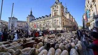 Nach Corona-Auszeit: Tausende Schafe ziehen wieder durch Madrid